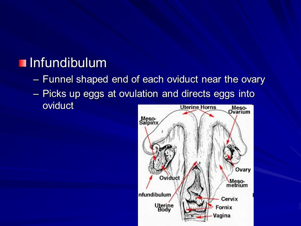 Infundibulum Funnel shaped end of each oviduct near the ovary