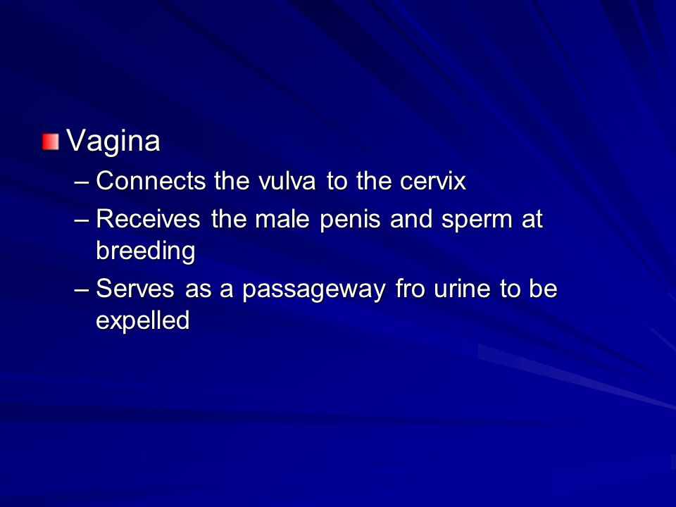 Vagina Connects the vulva to the cervix