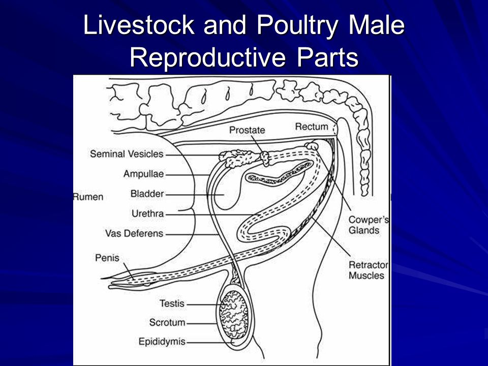 Livestock and Poultry Male Reproductive Parts