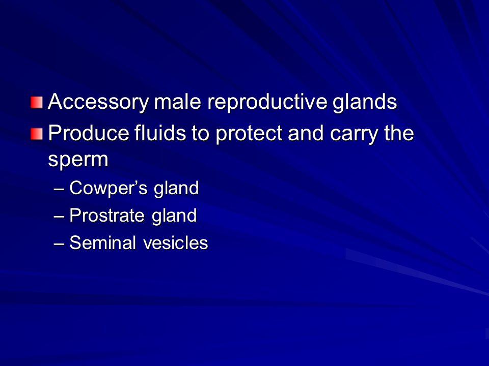 Accessory male reproductive glands