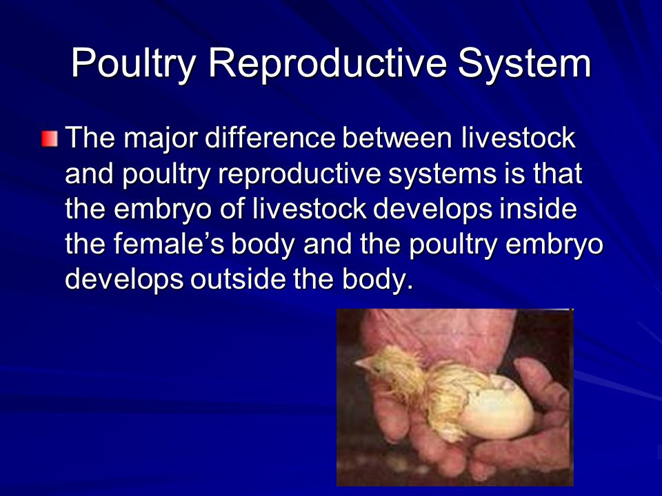 Poultry Reproductive System