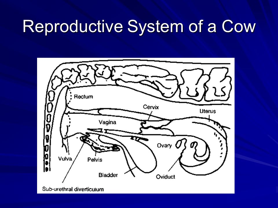 Reproductive System of a Cow