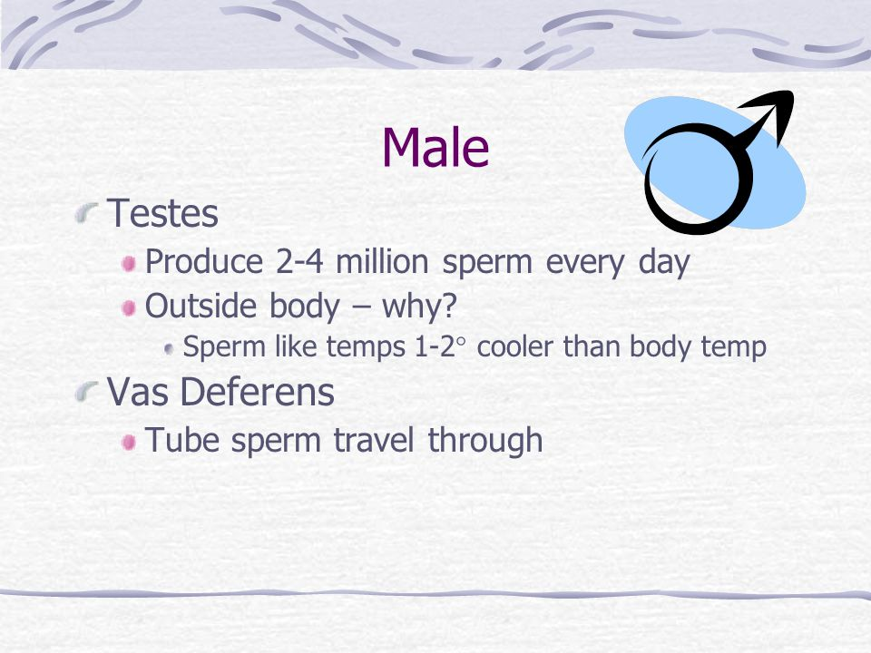 Male Testes Vas Deferens Produce 2-4 million sperm every day