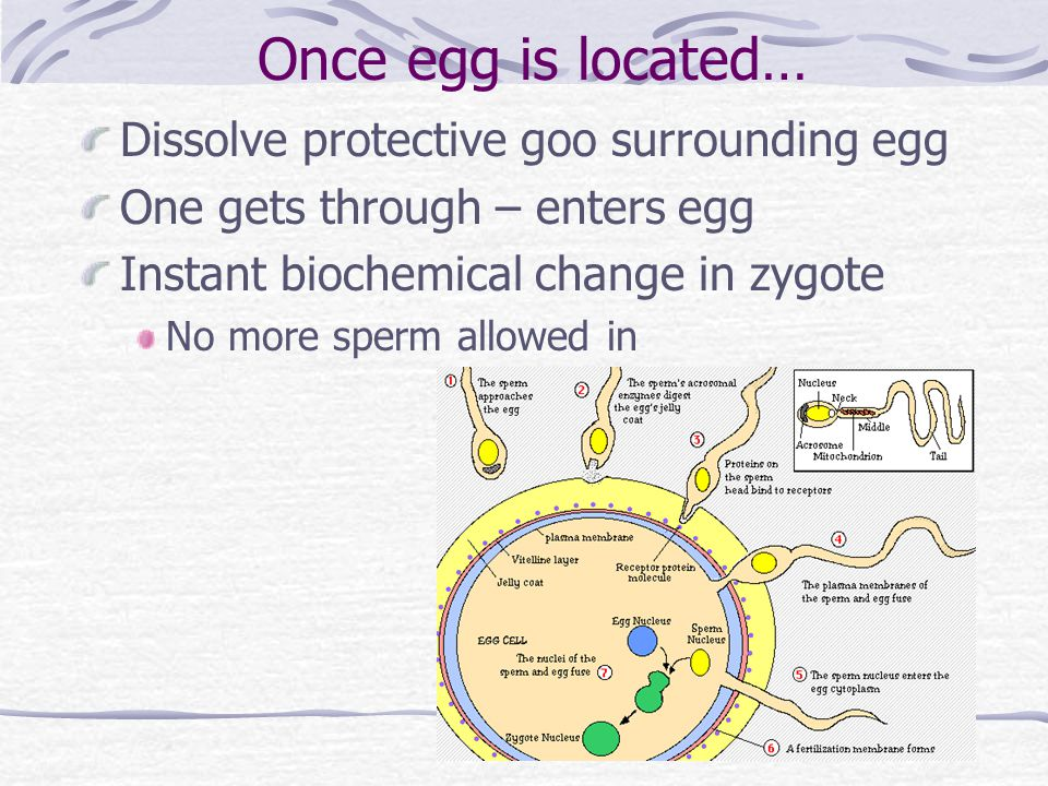 Once egg is located… Dissolve protective goo surrounding egg