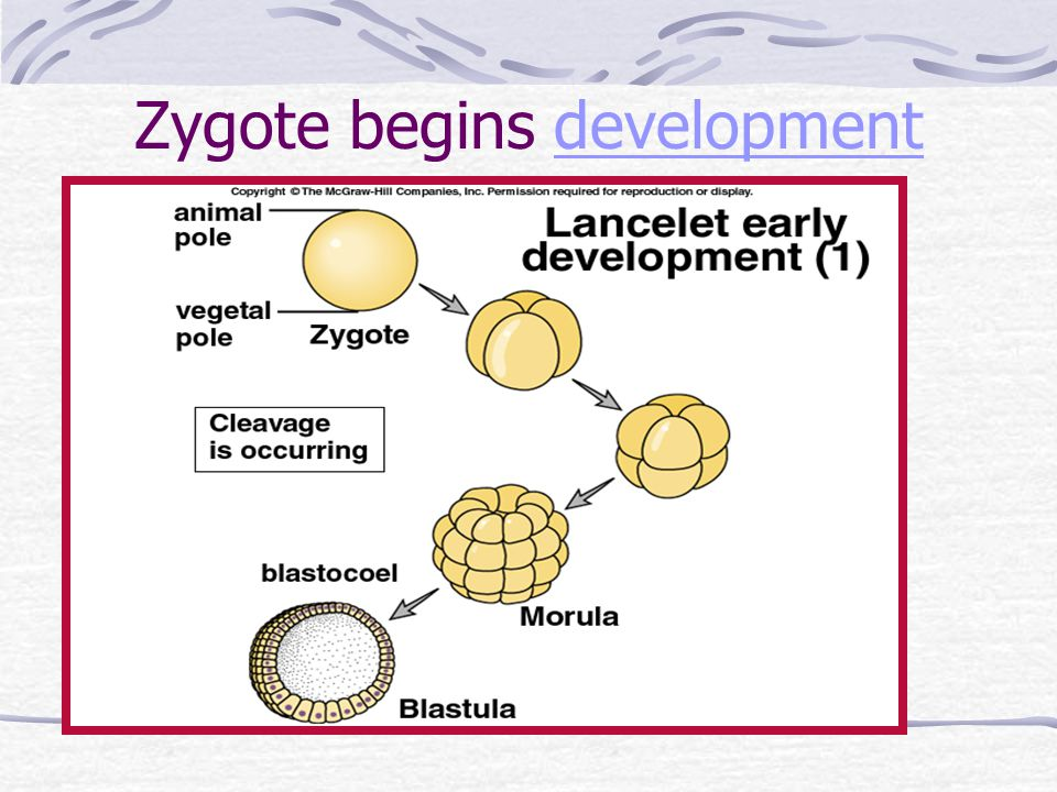 Zygote begins development