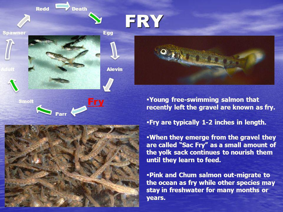 Death Egg. Alevin. Fry. Parr. Smolt. Adult. Spawner. Redd. FRY. Young free-swimming salmon that recently left the gravel are known as fry.