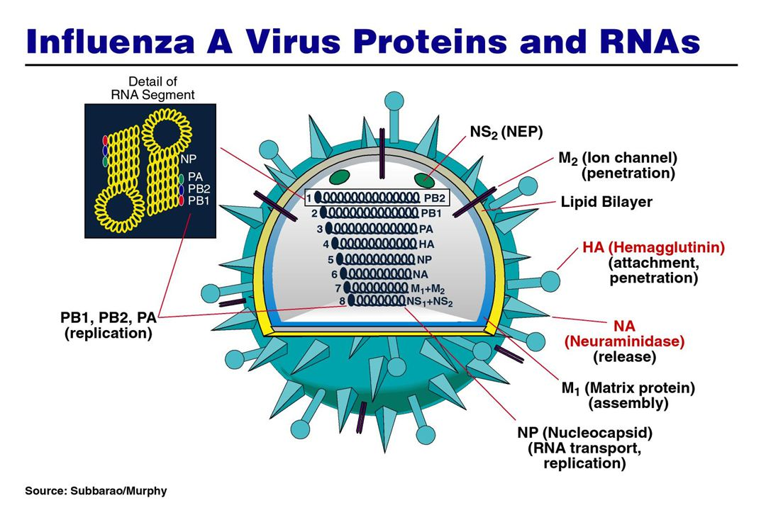 The influenza virus has other components also, which are depicted in a slightly more complex drawing here. These other components are important in viral replication and pathogenesis.