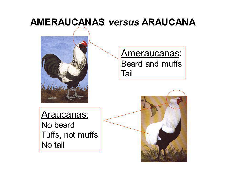 AMERAUCANAS versus ARAUCANA