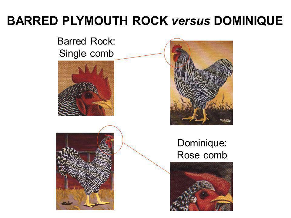 BARRED PLYMOUTH ROCK versus DOMINIQUE