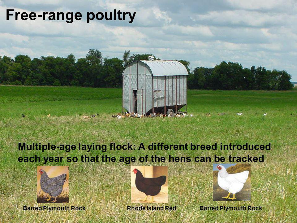 Free-range poultry Multiple-age laying flock: A different breed introduced each year so that the age of the hens can be tracked.