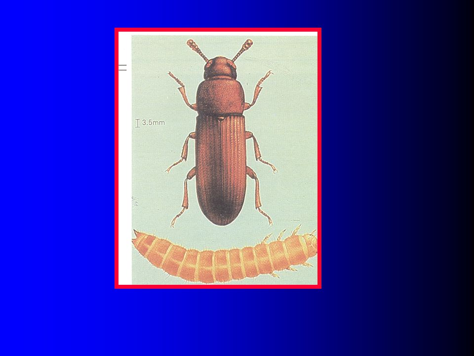 Slide 43: Picture of the red flour beetle.