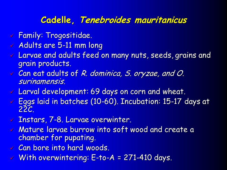 Cadelle, Tenebroides mauritanicus