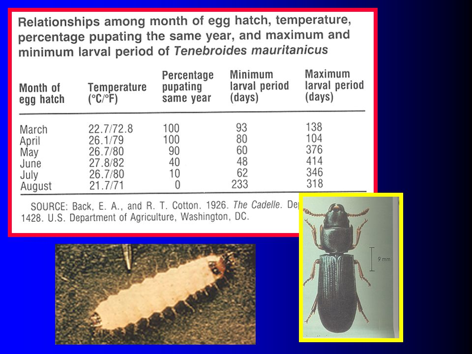 Slide 49: Picture of adult and larvae, and information on development throughout the year.