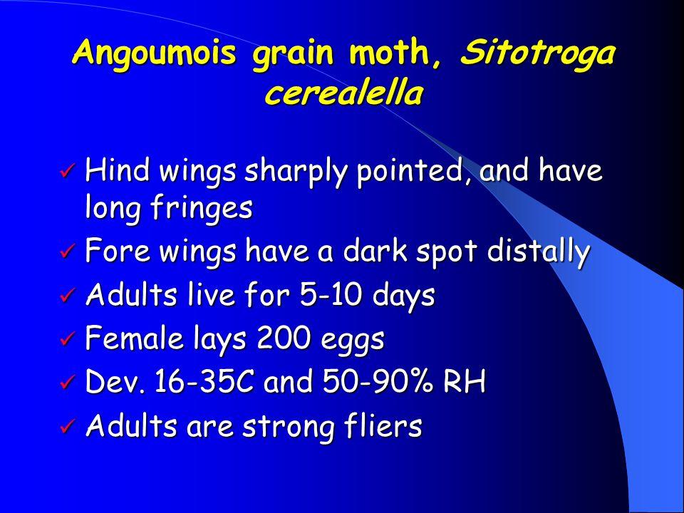 Angoumois grain moth, Sitotroga cerealella