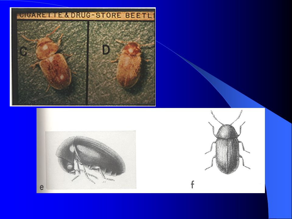 Slide 35: Color picture of cigarette beetle (left) and drug store beetle (right).