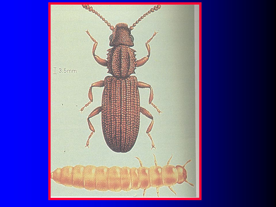 Slide 37: Picture of the sawtoothed grain beetle