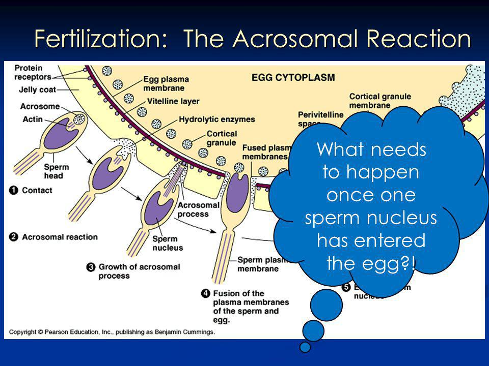 Fertilization: The Acrosomal Reaction