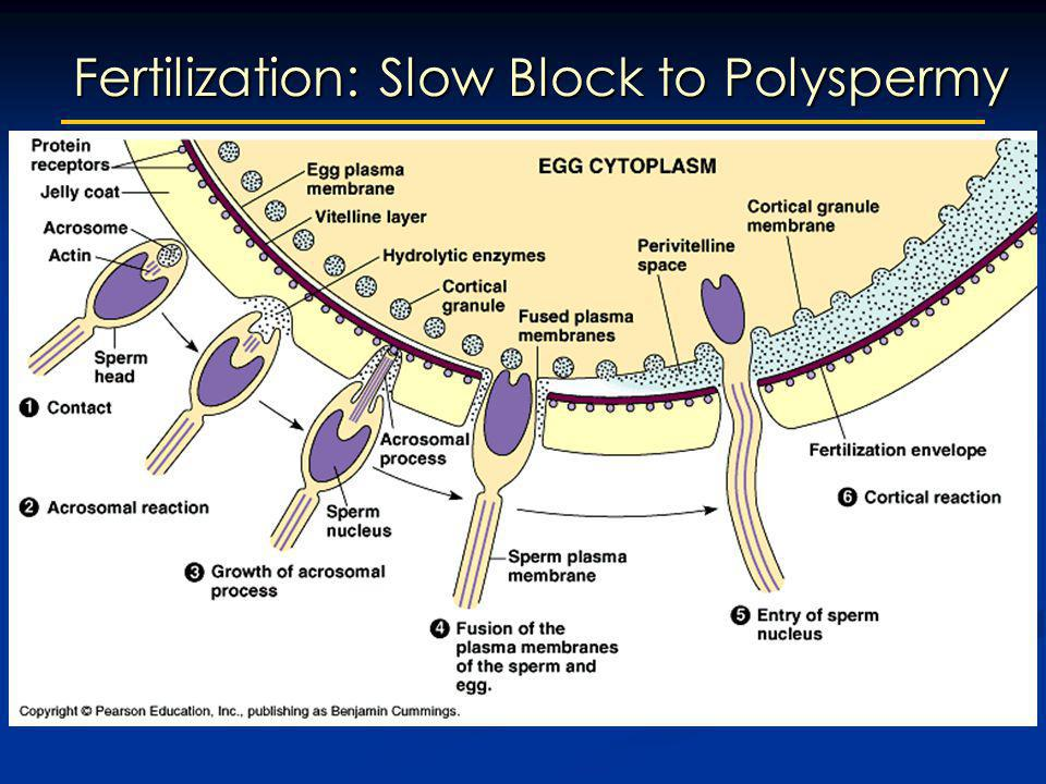 Fertilization: Slow Block to Polyspermy