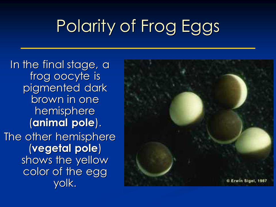 Polarity of Frog Eggs In the final stage, a frog oocyte is pigmented dark brown in one hemisphere (animal pole).