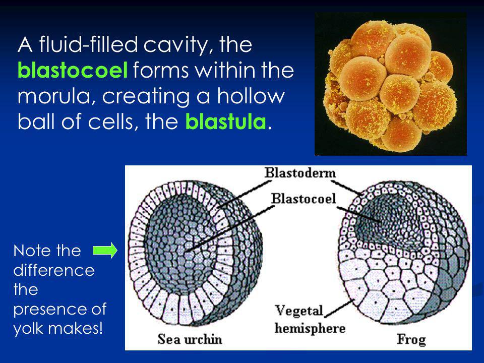 A fluid-filled cavity, the blastocoel forms within the morula, creating a hollow ball of cells, the blastula.