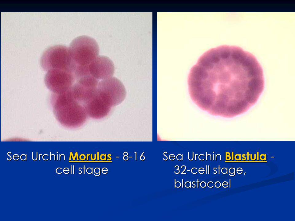 Sea Urchin Morulas - 8-16 cell stage