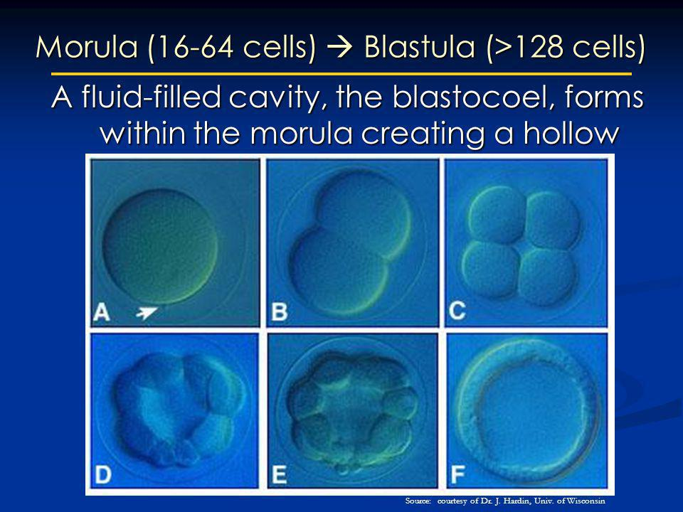 Morula (16-64 cells)  Blastula (>128 cells)