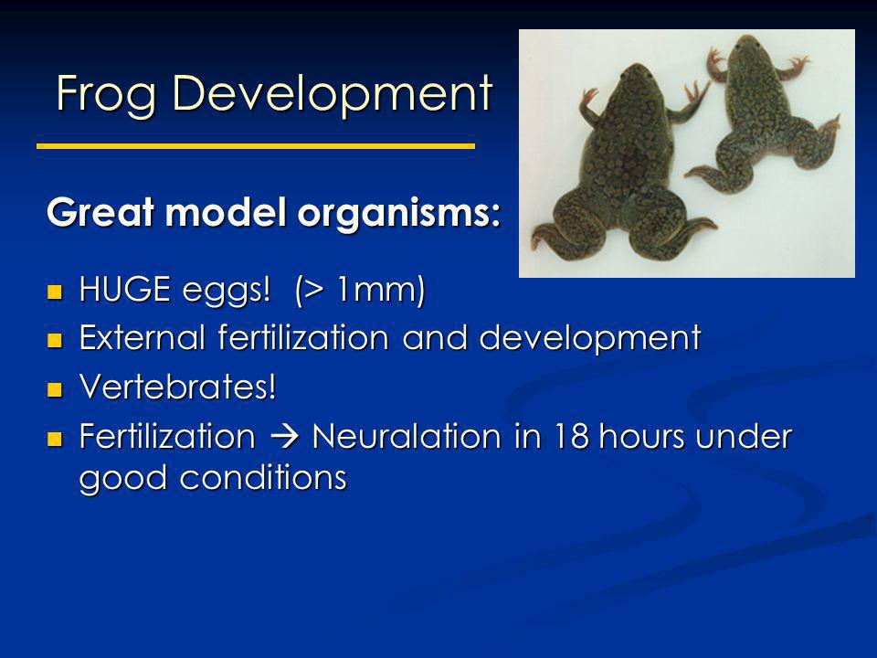 Frog Development Great model organisms: HUGE eggs! (> 1mm)