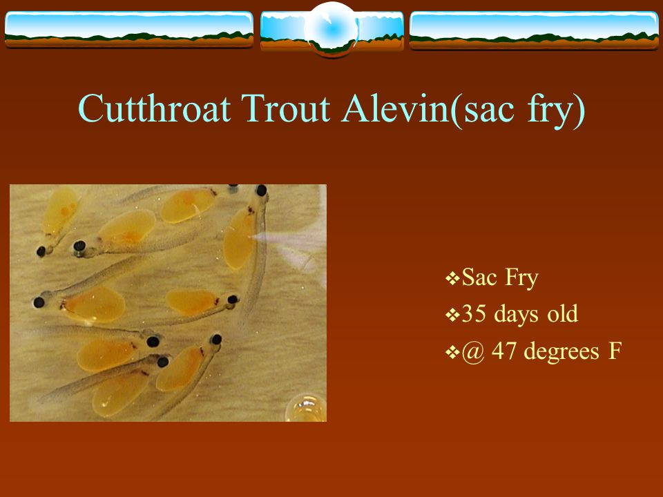Cutthroat Trout Alevin(sac fry)