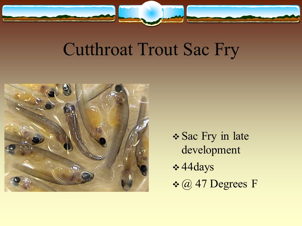 Cutthroat Trout Sac Fry