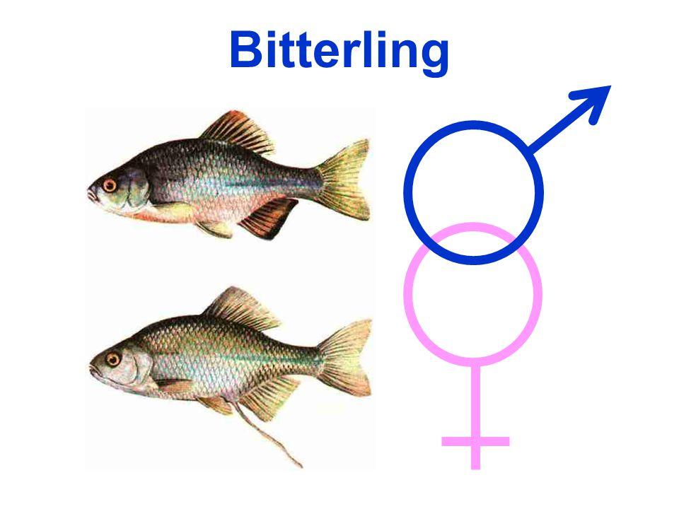 Bitterling