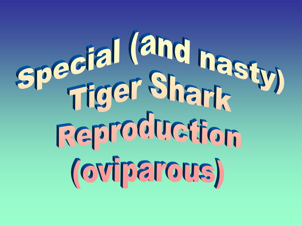 Special (and nasty) Tiger Shark Reproduction (oviparous)
