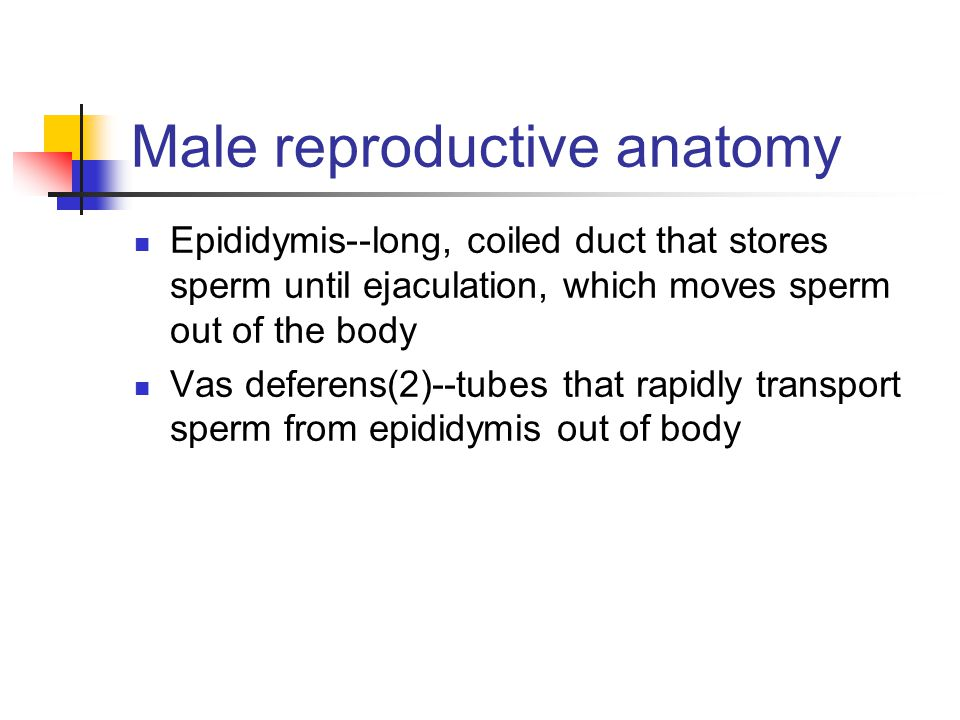 Male reproductive anatomy