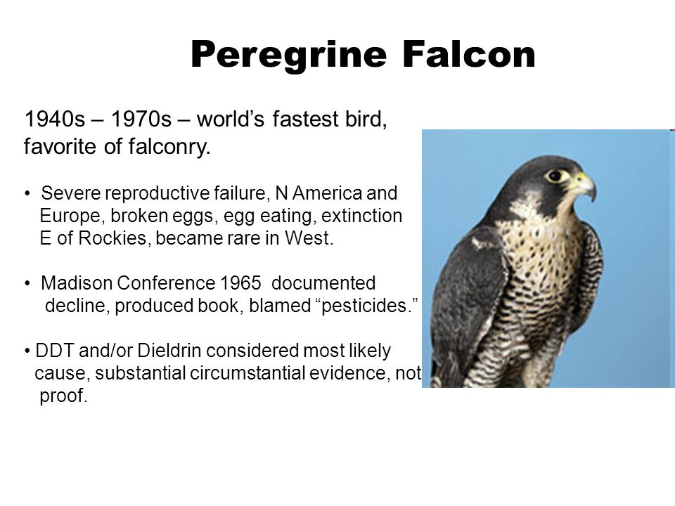 Peregrine Falcon 1940s – 1970s – world's fastest bird, favorite of falconry. Severe reproductive failure, N America and.