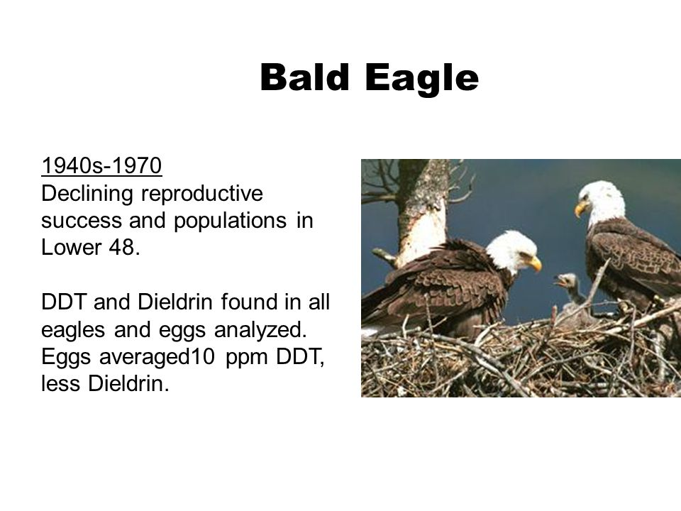 Bald Eagle 1940s-1970. Declining reproductive success and populations in Lower 48.