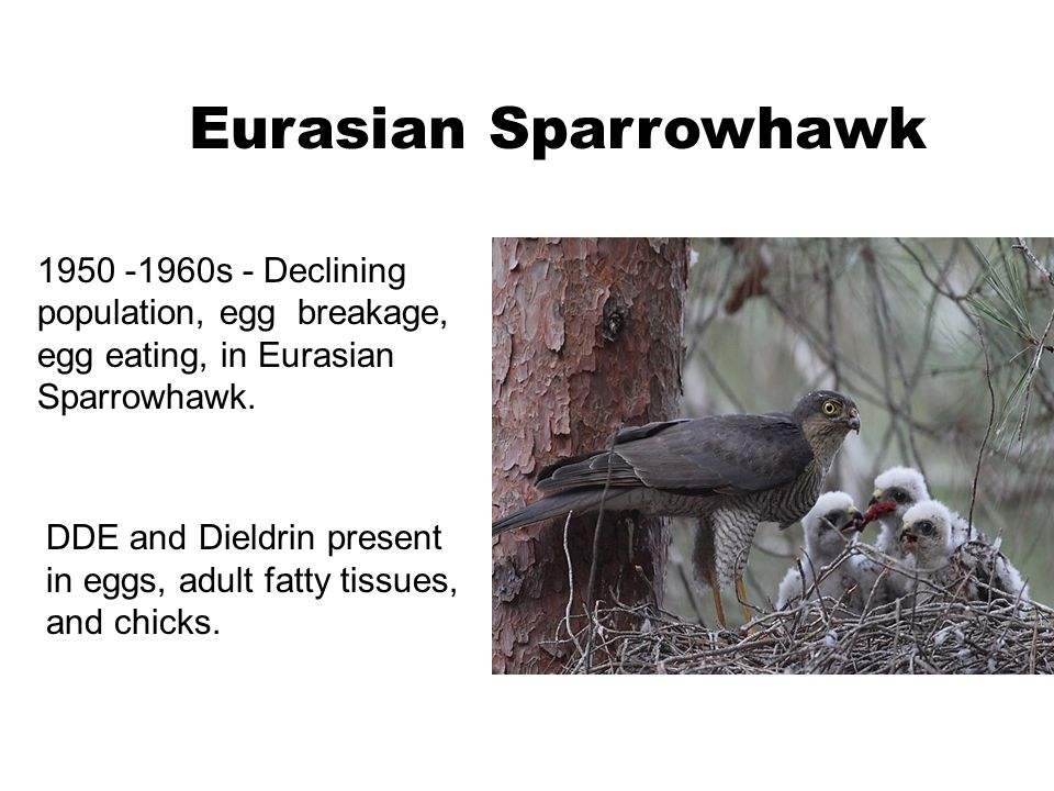 Eurasian Sparrowhawk 1950 -1960s - Declining population, egg breakage, egg eating, in Eurasian Sparrowhawk.