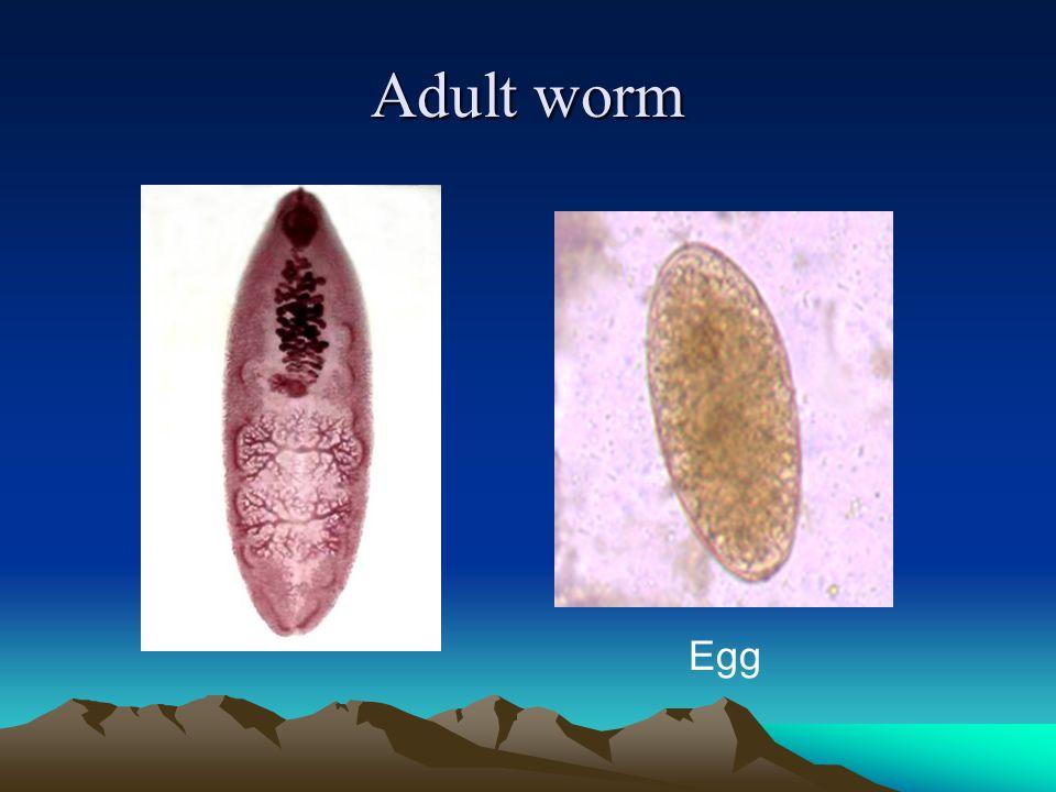 Adult worm Egg