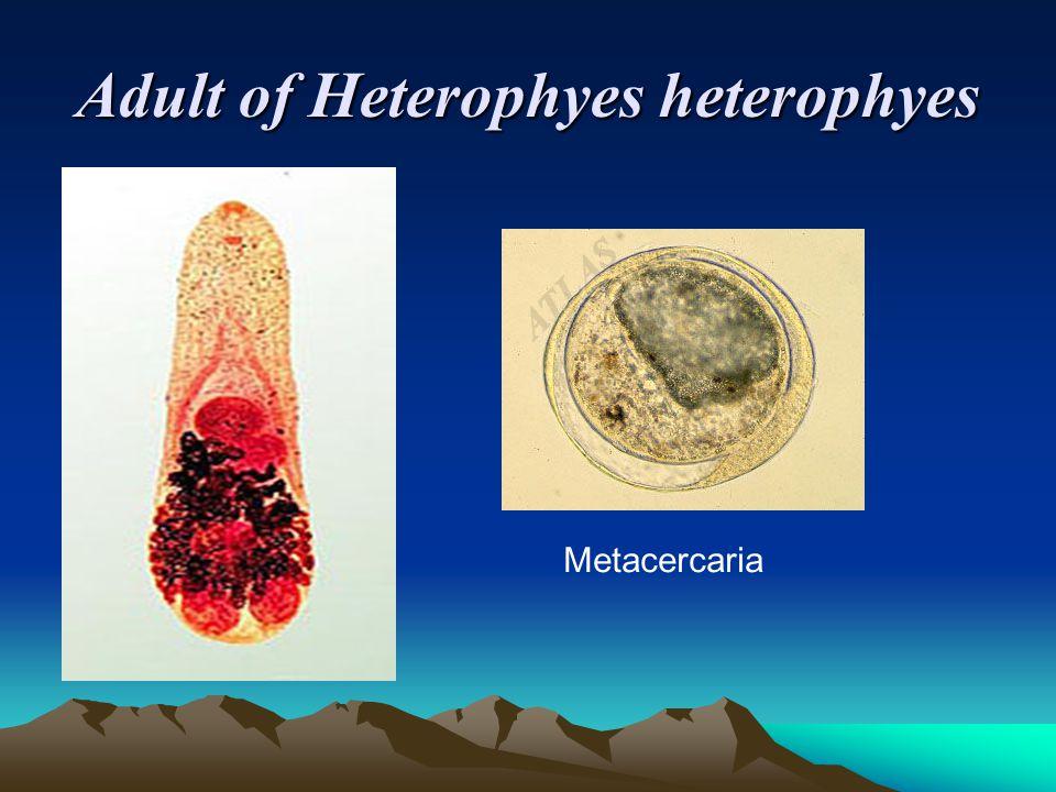 Adult of Heterophyes heterophyes