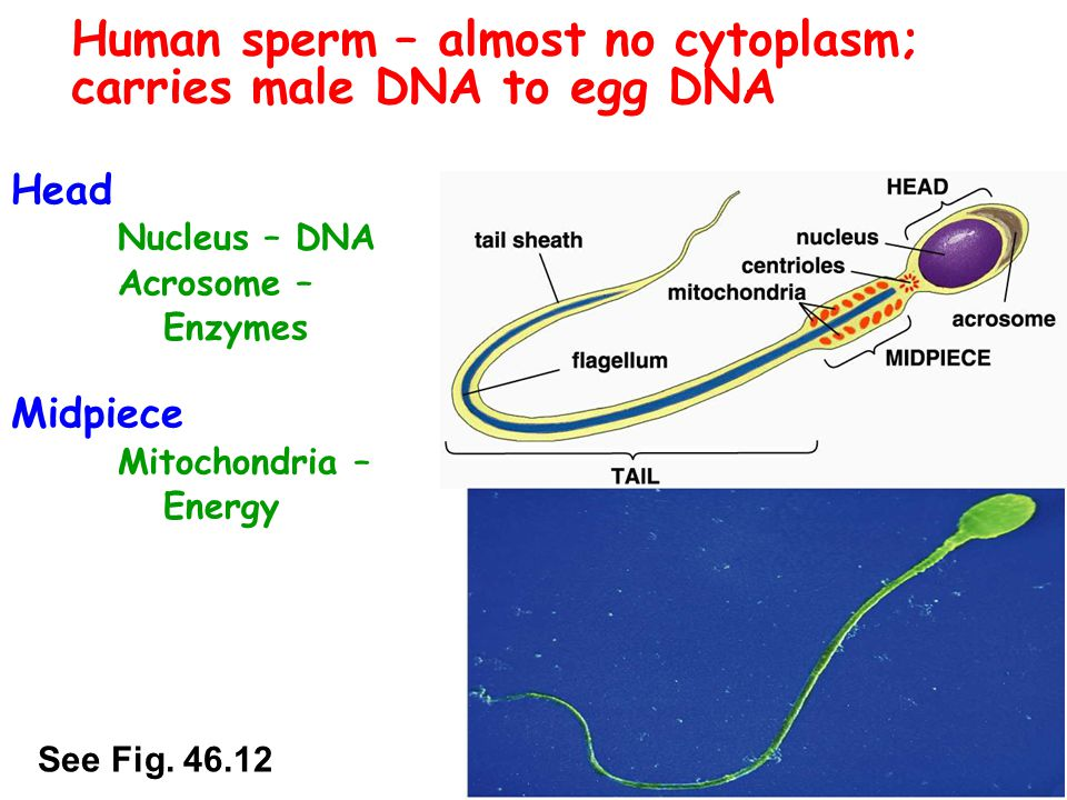 Human sperm – almost no cytoplasm; carries male DNA to egg DNA