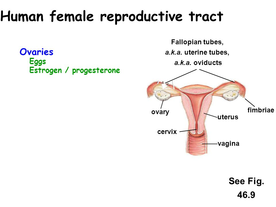 Human female reproductive tract
