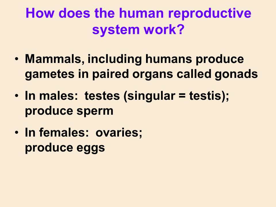 How does the human reproductive system work