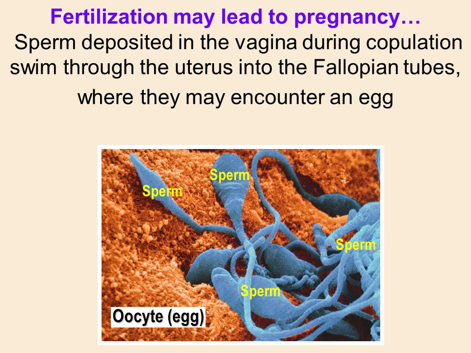 Fertilization may lead to pregnancy… Sperm deposited in the vagina during copulation swim through the uterus into the Fallopian tubes, where they may encounter an egg