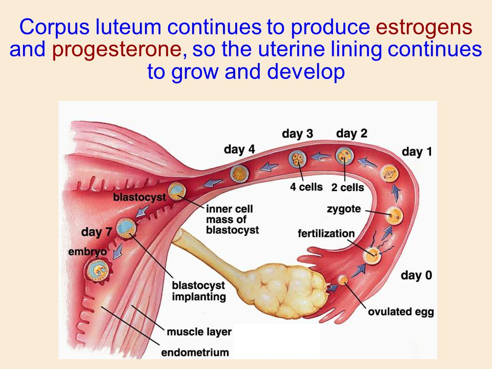 Corpus luteum continues to produce estrogens and progesterone, so the uterine lining continues to grow and develop