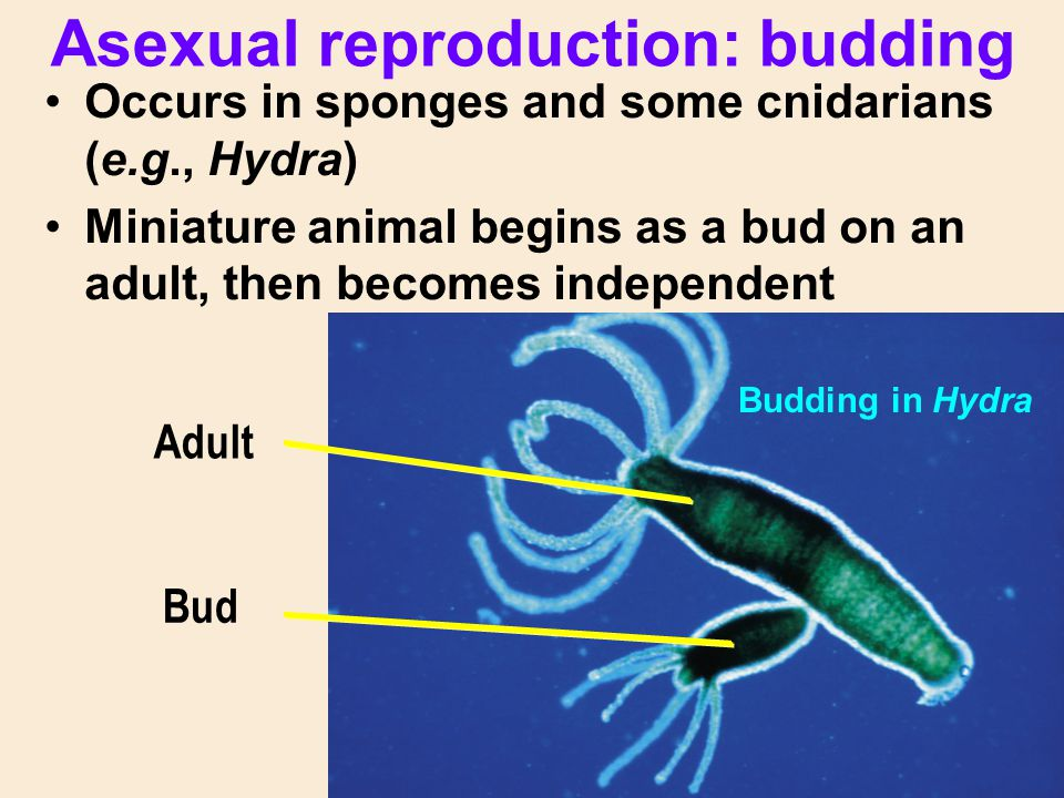 Asexual reproduction: budding