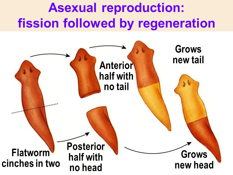 Asexual reproduction: fission followed by regeneration