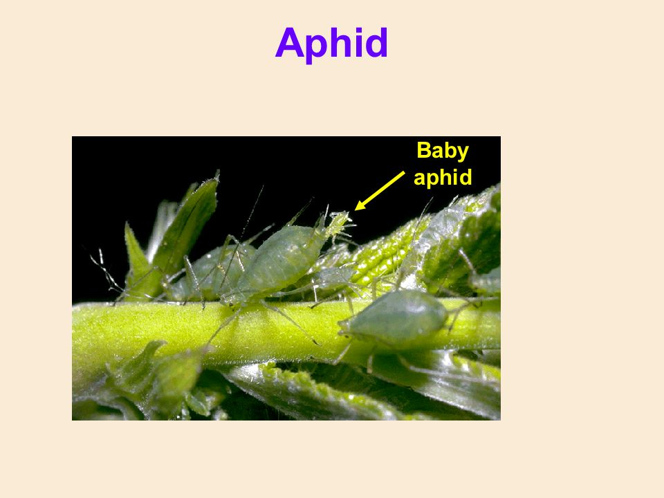 Aphid Baby aphid