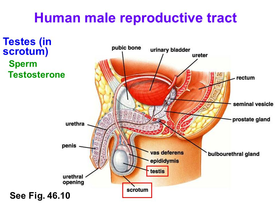 Human male reproductive tract