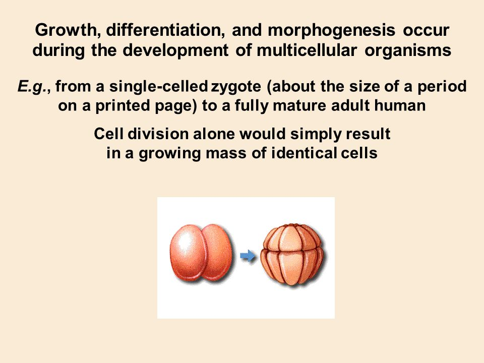 Growth, differentiation, and morphogenesis occur
