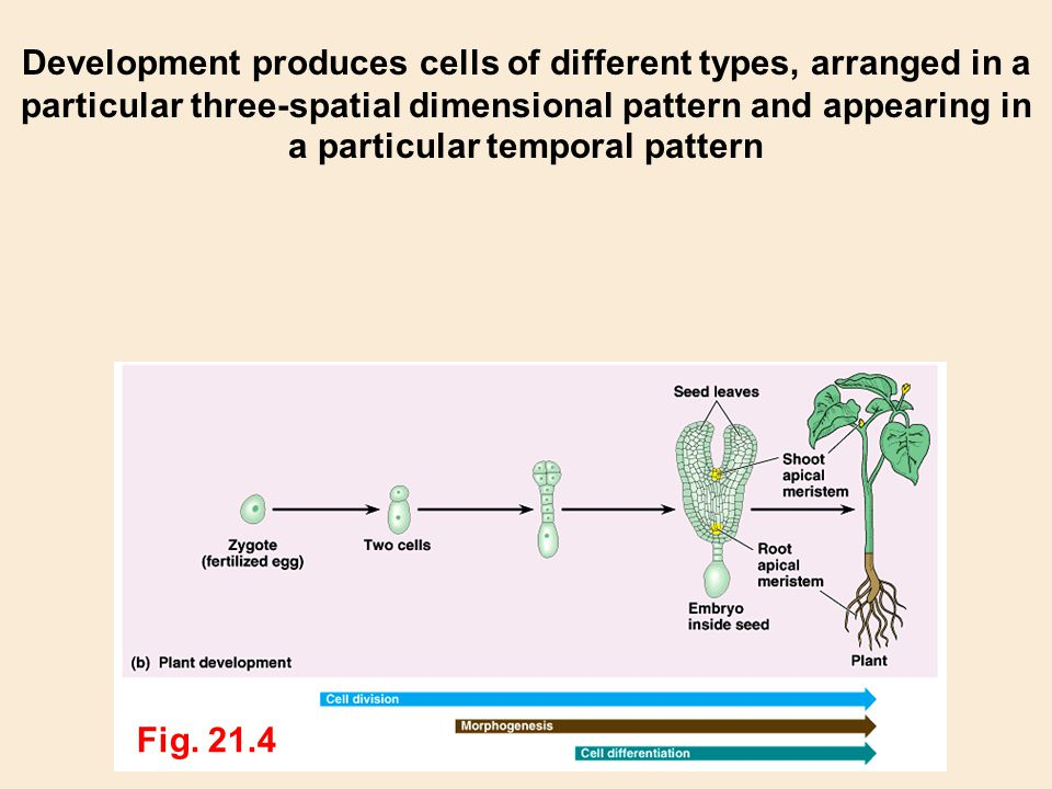 Development produces cells of different types, arranged in a particular three-spatial dimensional pattern and appearing in a particular temporal pattern