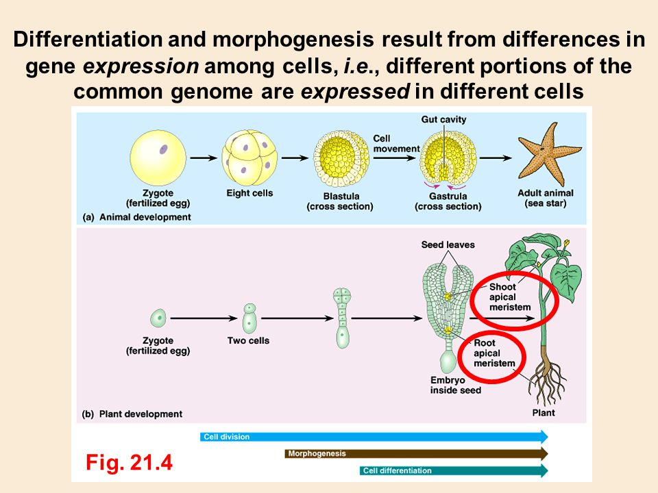 Differentiation and morphogenesis result from differences in