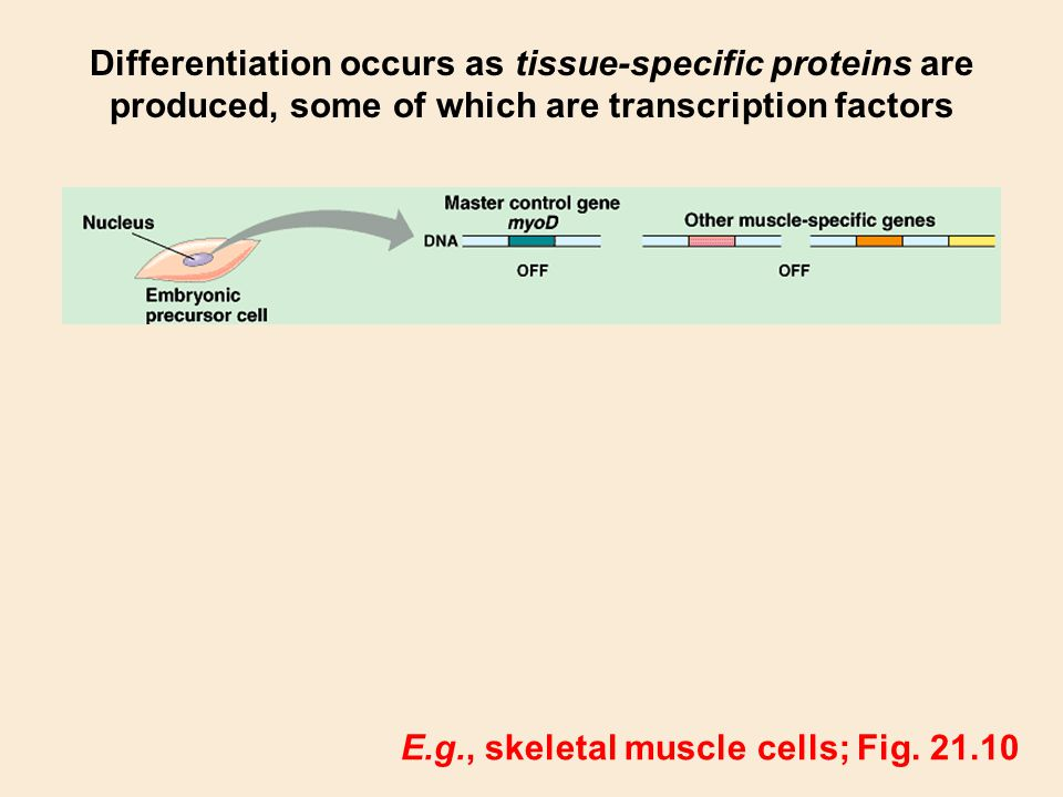Differentiation occurs as tissue-specific proteins are produced, some of which are transcription factors